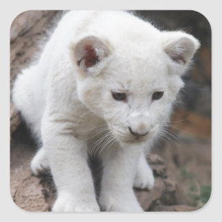 Un león lindo del blanco del bebé pegatina cuadrada