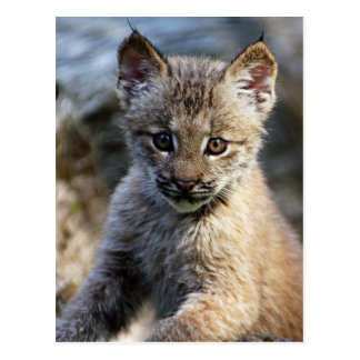 Un pequeño gatito canadiense lindo del lince tarjeta postal