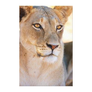 Un retrato de una leona que mira en la distancia impresiones en lona
