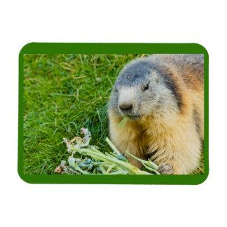 una marmota sociable en el imán de la foto