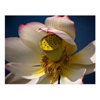 Una postal del flor de Lotus