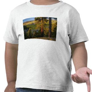 UTAH. Pinos ponderosa y álamo temblón, otoño. Camisetas