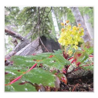 Uva de Oregon baja Arte Fotografico