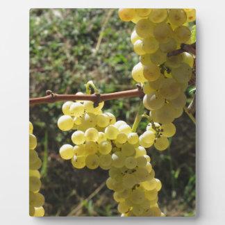 Uvas blancas en la vid. Toscana, Italia Placa Expositora