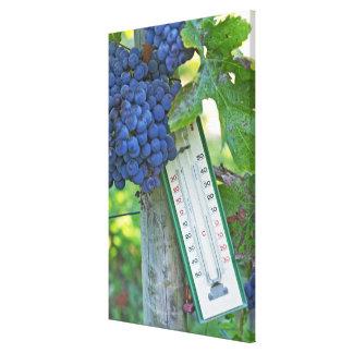 Uvas del Merlot en el la Figeac grave, a del casti Impresión En Lienzo Estirada