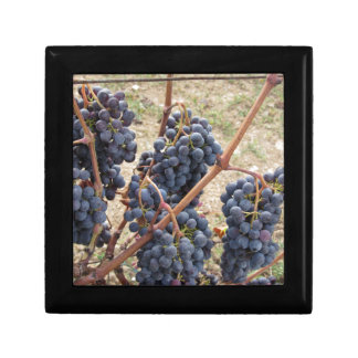 Uvas rojas en la vid. Toscana, Italia Caja De Regalo