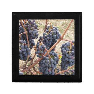 Uvas rojas en la vid. Toscana, Italia Joyero