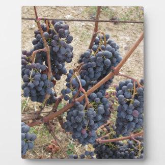 Uvas rojas en la vid. Toscana, Italia Placa Expositora