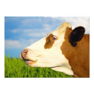 Vaca blanca de Brown que mira todo derecho Comunicado