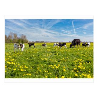 Vaca con los becerros recién nacidos en prado con postal