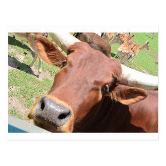 Vaca de Brown del safari Postal