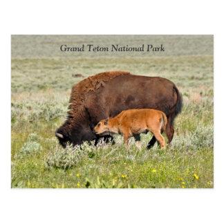 Vaca del bisonte y postal escénica del becerro