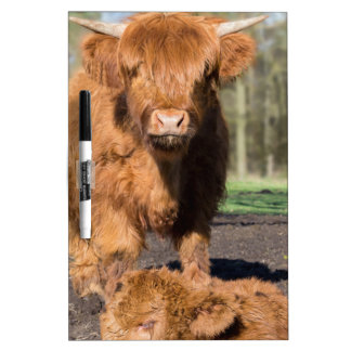 Vaca escocesa del montañés de la madre cerca del pizarra blanca