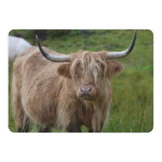 Vaca rubia lanuda de la montaña comunicado personal