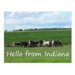 Vacas de la postal de Indiana