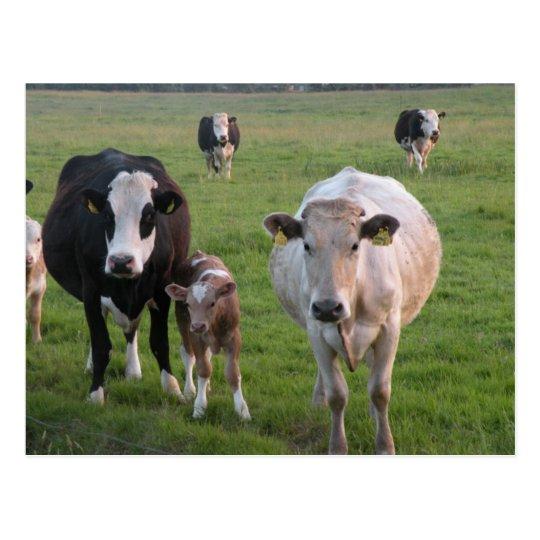 Vacas irlandesas postal