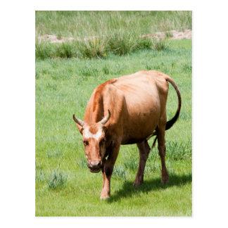 vacas y toros postal