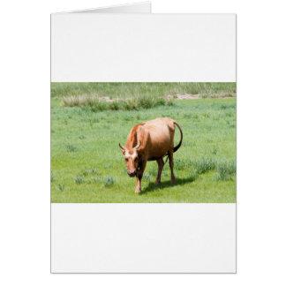 vacas y toros tarjeta pequeña