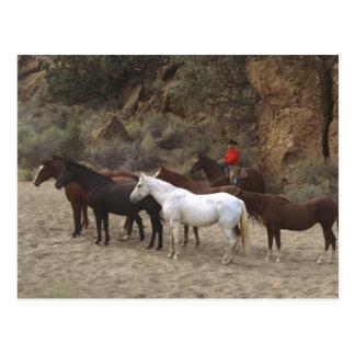 Vaquero con la manada postal