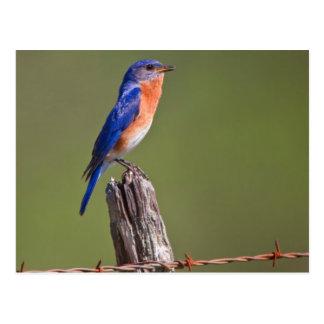 Varón adulto del este 2 del Bluebird (Sialis del Postal