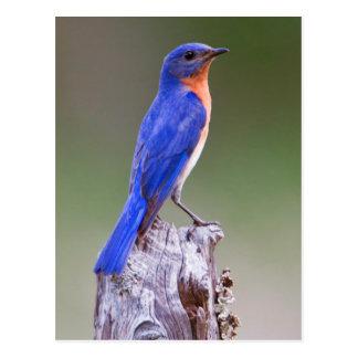 Varón adulto del este del Bluebird (Sialis del Postal