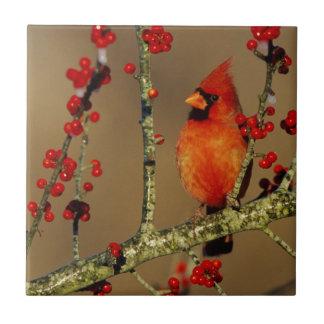 Varón cardinal septentrional encaramado, IL Azulejo