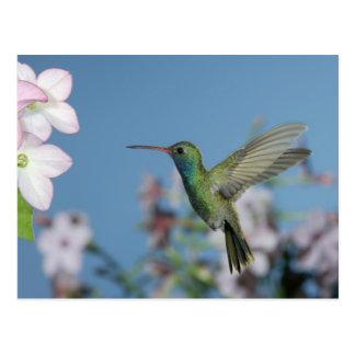 Varón que alimenta en la nicociana (ssp de la nico tarjetas postales