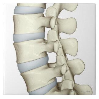 Vértebras lumbares azulejo cuadrado grande