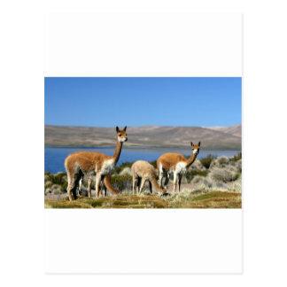 Vicuña en el parque nacional de Lauca, Chile Postal