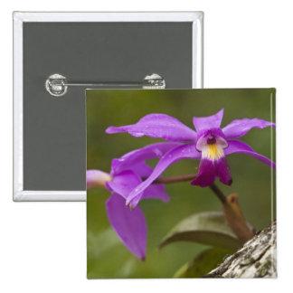 Violacea violeta de Cattleya de la orquídea de Cat Chapa Cuadrada