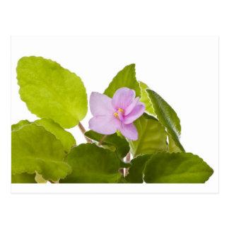 violeta africana - ionantha del saintpaulia postal