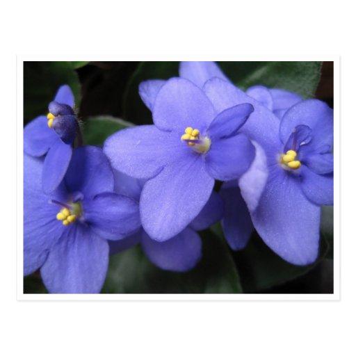 Violetas africanas tarjeta postal