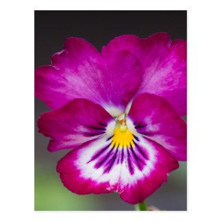 violetas postal