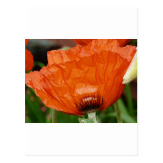 vista lateral de la amapola oriental tarjetas postales