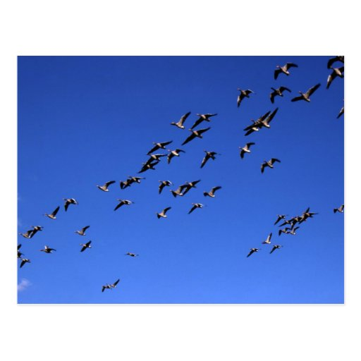 Vuelo de los gansos salvajes - postal
