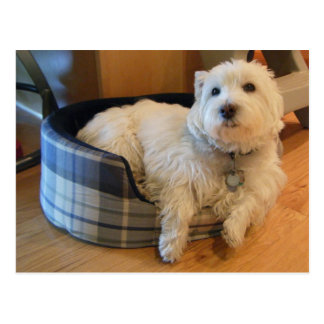Westie en postal de la foto de la cama del perrito