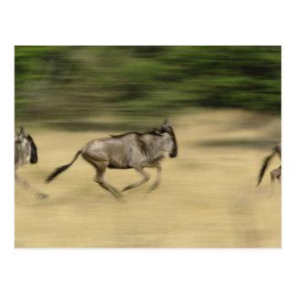 Wildebeest en el movimiento, taurinus del postal