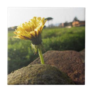 Wildflower amarillo que crece en piedras en la azulejo