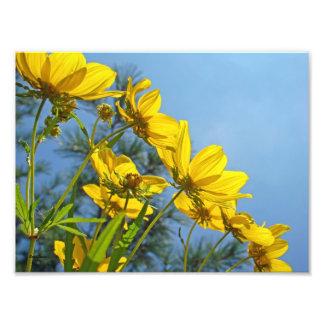 Wildflower Bracted largo del girasol de Tickseed Fotos