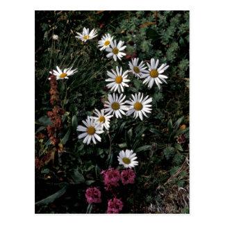 Wildflowers de la isla de Pasillo, margarita Postal