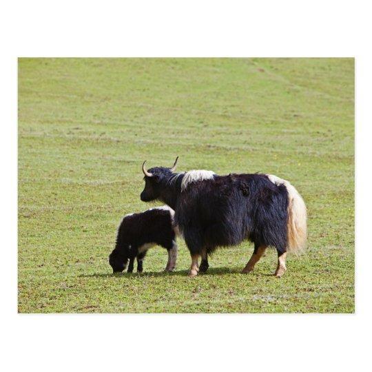 Yacs de la vaca y del becerro, Lijiang Postal