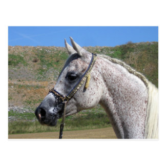 Yegua gris del árabe de Beduoin Postal