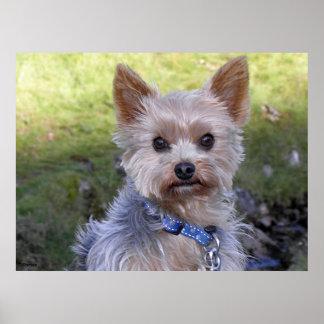 Yorkshire Terrier Póster