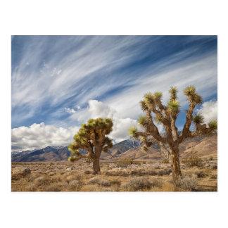 Yucas en desierto postal