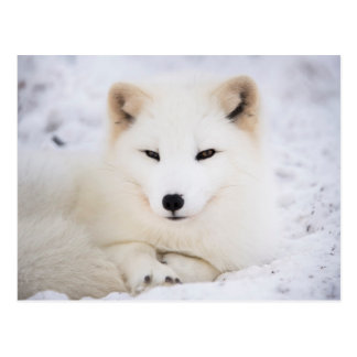 Zorro ártico blanco postal