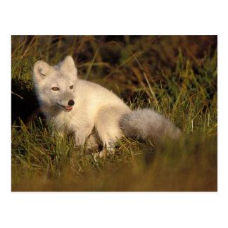 zorro ártico, lagopus del Alopex, capa que cambia Postal