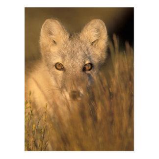 zorro ártico, lagopus del Alopex, en los 1002 2 Postal