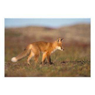 zorro rojo vulpes del Vulpes a lo largo de la ce Fotos